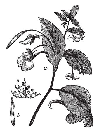A picture of flowering plant, flowers grown below leaves. The leaves are alternating arranged and flower growing on leaves midrib, vintage line drawing or engraving illustration.