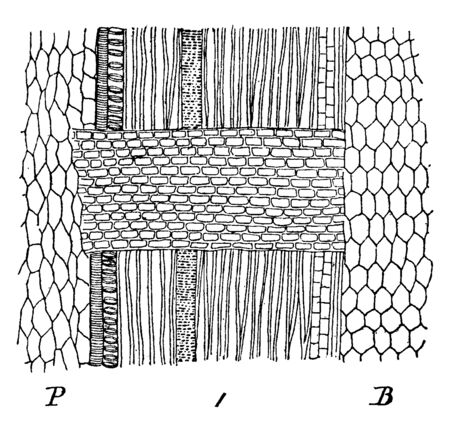 A picture showing enlarged view of surface of a Medullary Rays of Maple showing the wood-cells. Medullary rays refer to a characteristic found in woods and called as pith ray and wood ray, vintage line drawing or engraving illustration.