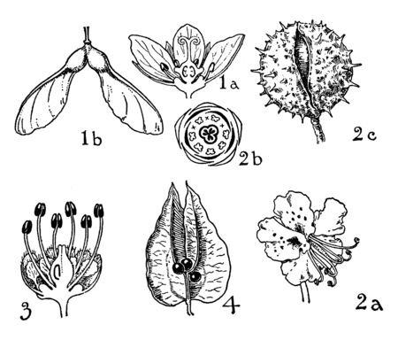 This picture shows the phase of the flower and the type, there are buds and anther, sepal, petal, seed, vintage line drawing or engraving illustration.