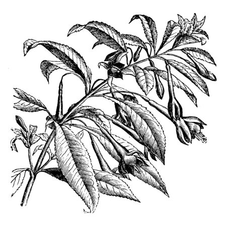 Flowers of Fuchsia Serratifolia are red in color. Flowers bloom in summer; its branches grow between six and eight feet in height, its leaves are bent, vintage line drawing or engraving illustration.