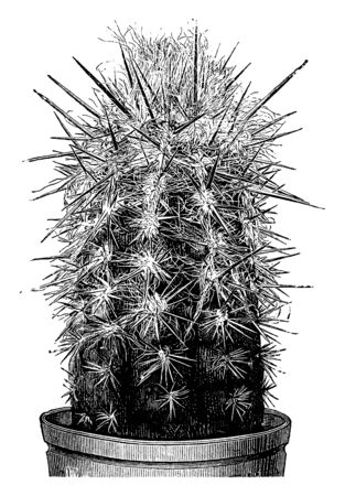 A picture showing the plant of Pilocereus Brunnowii which is a type of cactus and the stem of this plant is erect and cylindrical, vintage line drawing or engraving illustration.