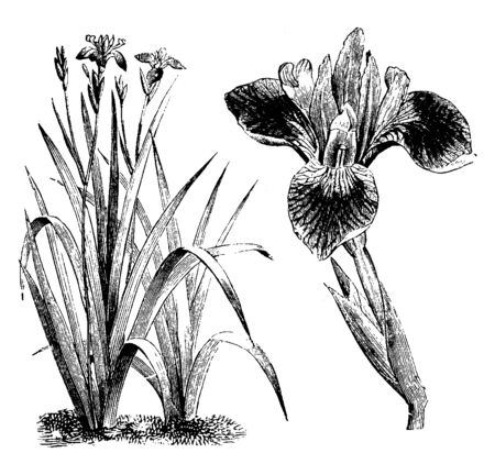 Iris versicolor flowers have many color varieties. These are found in North America, vintage line drawing or engraving illustration.