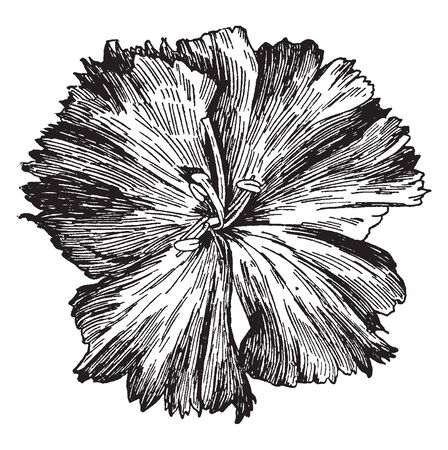The flowers petals are ruffled along the edges and a healthy plant will feature ball-shaped blooms, vintage line drawing or engraving illustration.