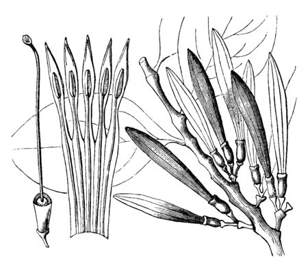 This is a picture of Loranthus. It is a genus of parasitic plants. There are sections i.e. 1. Corolla laid open; 2. Ovary, vintage line drawing or engraving illustration. Illustration