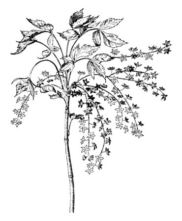 A picture shows Zanthorhiza Apiifolia plant which is belongs to Xanthorhiza family. The flowers are small, brown color & leaves are sharp, toothed shaped. It has separate flower branches & leaves branches, vintage line drawing or engraving illustration. Çizim