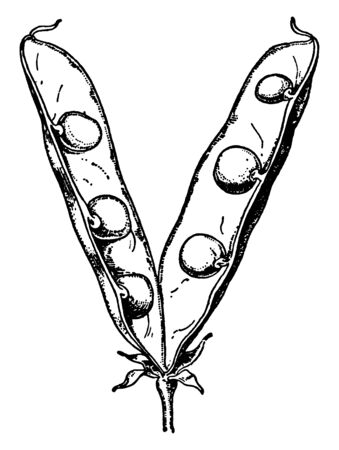 This is a image of open Pea pod.It contains several Peas inside. Seeds are spherical, vintage line drawing or engraving illustration. 向量圖像