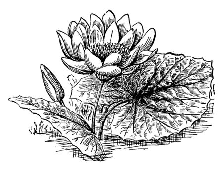 This is a American Lotus flower. Its leaves are simple, round, bluish-green in color, vintage line drawing or engraving illustration.