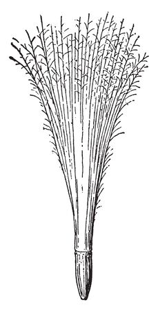 This picture is showing akenes. It is a showing a full grow. The upper part is like bunch of hair, it is very thin and long, vintage line drawing or engraving illustration.