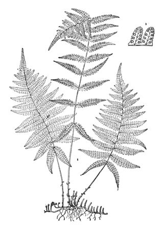 A picture shows the Dryopteris Simulata Plant. It produces both fertile and sterile leaflets. The leaflets are twice-compounded and divided mid-vein into between fifteen to eighteen lobes, vintage line drawing or engraving illustration.