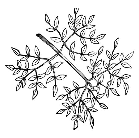 This is an image of Tripinnate. This is also called as thrice-pinnate, this is triple rows of leaflets, vintage line drawing or engraving illustration.