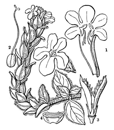 It has cluster deeply lobed flower, the flower have five petals. In this picture is ovary, lateral sepal, bract and some anther, vintage line drawing or engraving illustration.