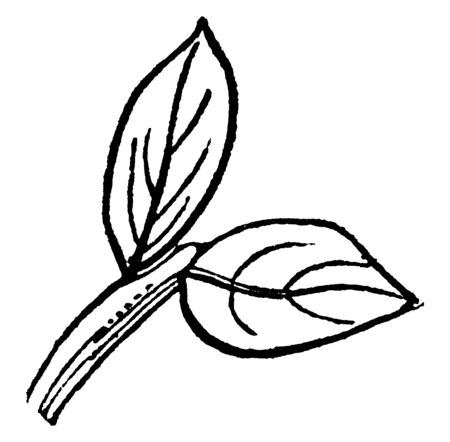 Two leaf attach different level, they grown on branch and stalk is very short, vintage line drawing or engraving illustration. 向量圖像