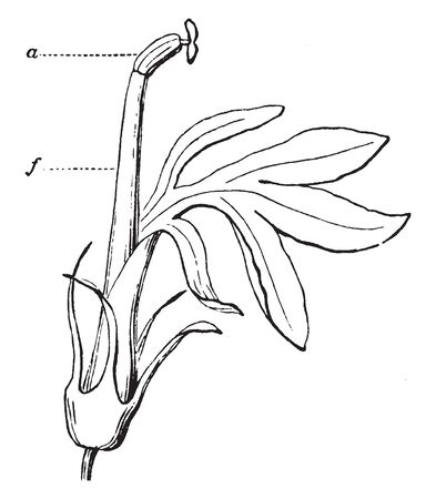 Stamens usually with a slender filament supporting the anther, Ovary are often of long style, stamen make pollen, vintage line drawing or engraving illustration. Иллюстрация