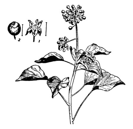 In the picture a fruit, a flower and the plant of ivy, vintage line drawing or engraving illustration.