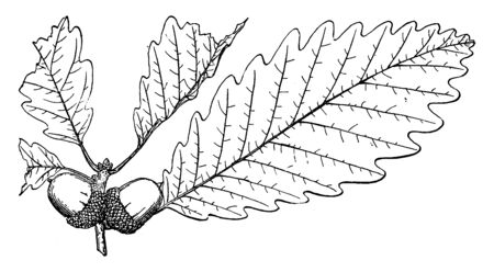 A picture showing the Branch of Swamp Chestnut Oak which is also known as Quercus michauxii and is native to the wetlands of the southern and central United States, vintage line drawing or engraving illustration.