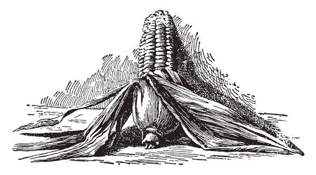 The corn of this picture is partially peeled; the front part of the corn is peeled, vintage line drawing or engraving illustration.