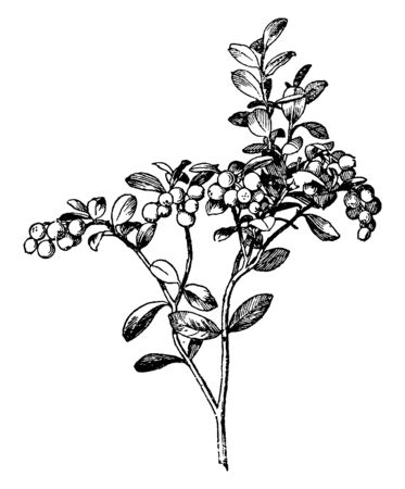 This image of a mountain cranberry. This plant is dense, the fruit is small and rounded. The color of this fruit is red, vintage line drawing or engraving illustration.