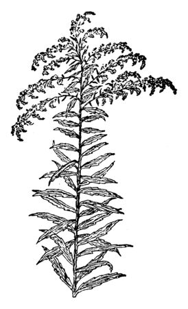 Solidago canadensis also known as Canada goldenrod or Canadian goldenrod is an herbaceous perennial plant of the family Asteraceae native to North America, vintage line drawing or engraving illustrati