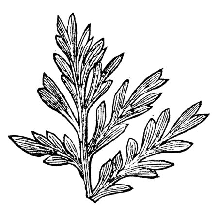 Ferns are a very ancient family of plants and they reproduce from spores, vintage line drawing or engraving illustration.