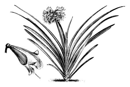 Picture of a plant named Imantophyllum Cyrtanthiflorum showing big flower in the middle of the plant, the leaves of the plant are dark green, vintage line drawing or engraving illustration. Ilustração