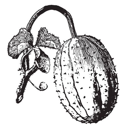 This is a cucumber species, this is small size and it like oval, There is a dot on the fruit, it attach to stem, vintage line drawing or engraving illustration.