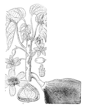 This image shows the various parts of the tree (Pangium Edule) including male flower, a cross section of an ovary, perpendicular section of a seed and an ovary with its sterile stamens, vintage line drawing or engraving illustration. Çizim