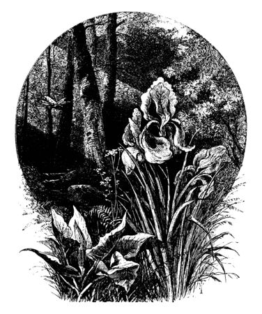 Picture showing the flowers of Iris plant, vintage line drawing or engraving illustration.