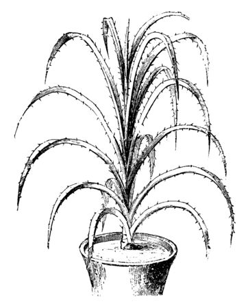 A picture showing a Pandanus Odoratissimus. This is from Pandanaceae family. Leaves are glaucous, 40-70 cm. long and thorny, vintage line drawing or engraving illustration.