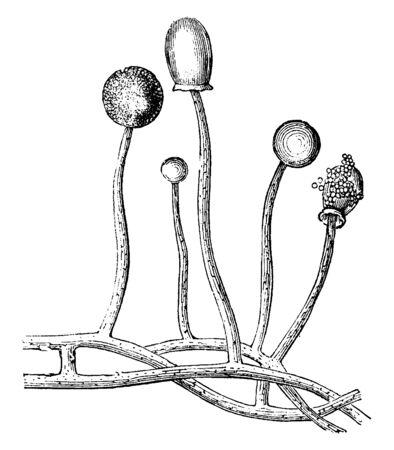 This is an fungus of Angioridium sinuous Mushrooms, vintage line drawing or engraving illustration. Illusztráció