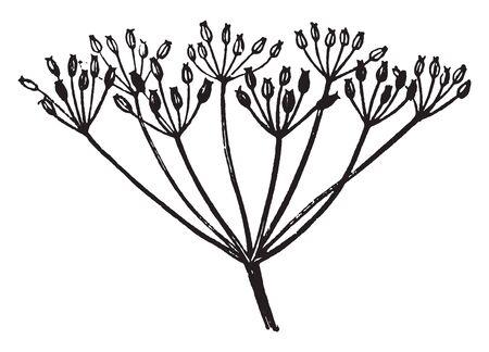 A picture or diagram showing the compound umbel arrangement of flowers, vintage line drawing or engraving illustration. Çizim