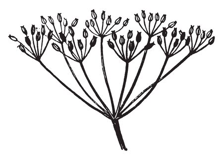 A picture or diagram showing the compound umbel arrangement of flowers, vintage line drawing or engraving illustration. Illustration