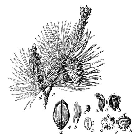 A picture which shows various parts of Scotch pine such as twig, catkins, cone, needles, anther, carpel-scale, seed wing, section of a seed showing the embryo, etc, vintage line drawing or engraving illustration.