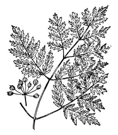 Picture shows the branch of Poison Hemlock. It is also known as Conium Maculatum. It is very toxic and domestic animals are poisoned by eating small amounts of plant. It has white flowers, vintage line drawing or engraving illustration. Stock Vector - 132872016