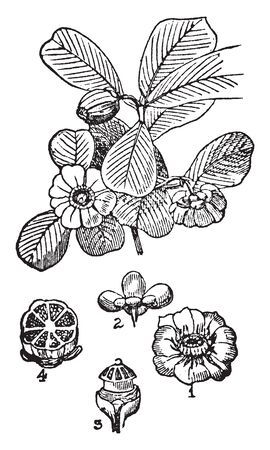Flowering branch of clusia rosea. Illustrated are1.) Expanded flower 2.)A calyx seen from below 3.) Flower ovary 4.)A transverse section of a fruit, vintage line drawing or engraving illustration. Иллюстрация