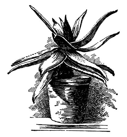 This picture is showing an Aloe serrulata plnat. The leaves are thorny, long. The leaves have scattered, vintage line drawing or engraving illustration. Illustration