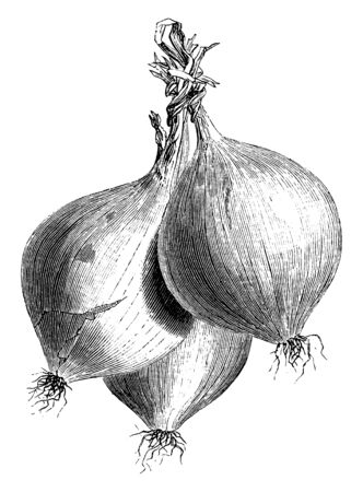 In this picture there is a Trebons onion. It shows three onion pair in this frame and their scalp is tied. Their cover is pale pink, vintage line drawing or engraving illustration. Illustration
