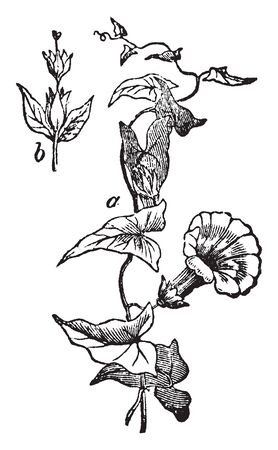 A picture is showing a branch and flower of Convolvulus. They are usually entangled and milky plants, although some are erect shrubs, vintage line drawing or engraving illustration.