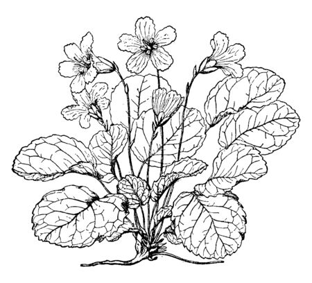 Shortia Galacifolia is also called as acony bell and it is a rare North American plant in the family Diapensiaceae found in the southern Appalachian Mountains, vintage line drawing or engraving illustration.