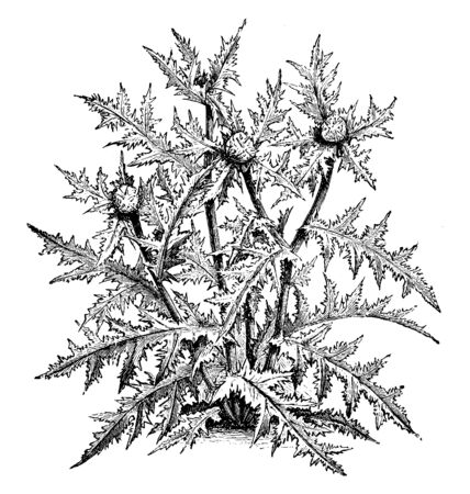 A picture showing the plant with prickly leaves, vintage line drawing or engraving illustration.