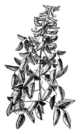 A picture is showing Portion of Annual Herbaceous Flowering Shoot of Erythrina Crista-Galli, also known as coral-tree. It belongs to Fabaceae family. Leaves are oval in shape and the stems are woody, vintage line drawing or engraving illustration.
