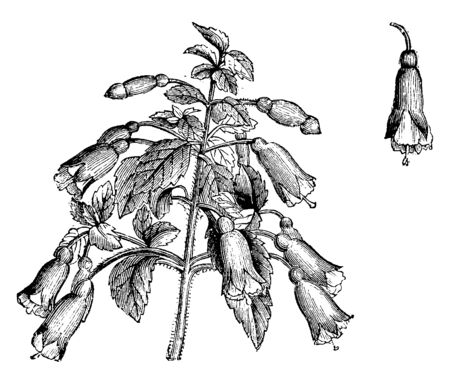 Fuchsia microphylla is a deciduous Shrub growing to 1.8 m at a medium rate it is in flower from Sep to October.Its deep red and funnel shaped. Single Flower of Fuchsia Microphylla shown in picture, vintage line drawing or engraving illustration.
