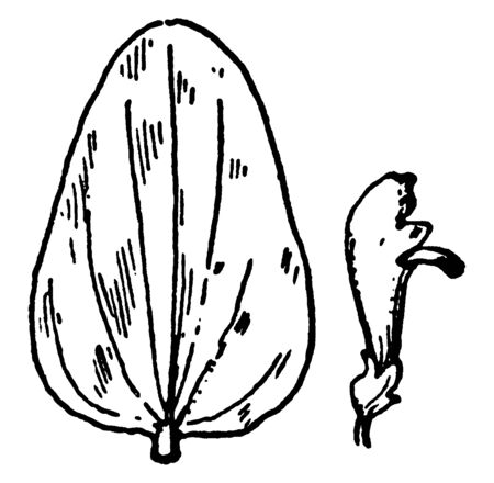 A picture shows the S. parvula Skullcap leaves and flower. Its leaves are long, narrow, plain-edges and flowers are purple, bell shaped, Pistil at lower end of flower. Flower with opening mouth, vintage line drawing or engraving illustration. Illustration