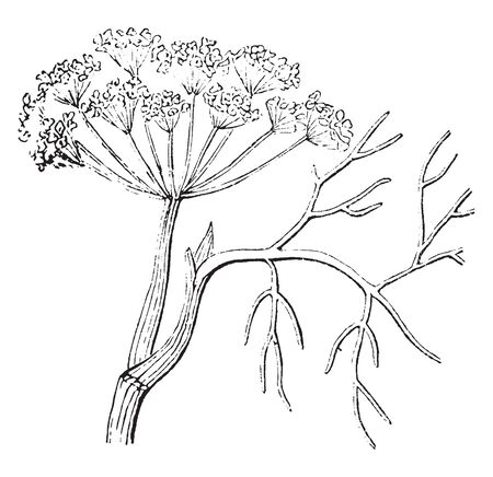A picture is showing a plant of Anise which is a known plant that resembles dill or snail but is more fragrant, vintage line drawing or engraving illustration.