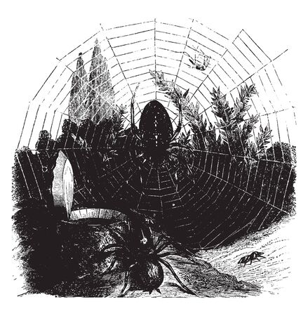 Garden spider and trap door spider which is close the mouth of their subterranean resdence with a most ingeniously constructed trap door, vintage line drawing or engraving illustration.