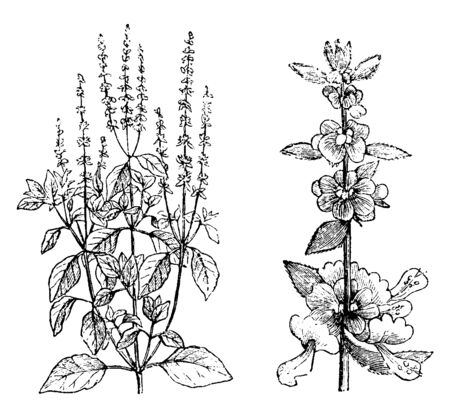 Picture shows the Sweet Basil Plant. It is one of the medical plant and it is available everywhere, mostly in-front of our home. It is also called as ocimum basilicum and its leaves are small, vintage line drawing or engraving illustration.