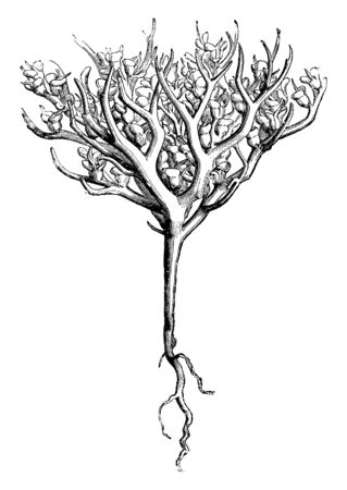A picture is showing a dry fruiting plant of Anastatica Hierochuntina which is mostly known as Rose of Jericho, vintage line drawing or engraving illustration.