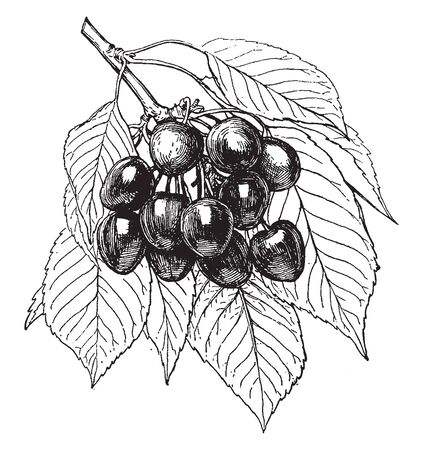 In this picture a species of cherry is called napoleon cherry. The taste of that cherry is sweet, vintage line drawing or engraving illustration.