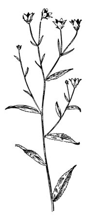The stem of the Marsh Bellflower Plant is slim and long. The leaves are alternate and stalk less and flower solitary inflorescence, vintage line drawing or engraving illustration.