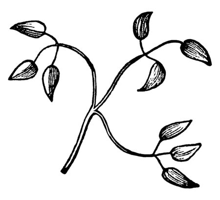 a leaf look like a titernate shape. With three of leaflets, per ternate compound and stem are very slim and long, vintage line drawing or engraving illustration. Çizim