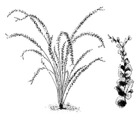 Nephrolepis Duffii is a densely covered, compact fern with unique looks. This is partially due to the downy brown rhizome points at the base of the plant. The fronds are tufted, vintage line drawing or engraving illustration. Иллюстрация